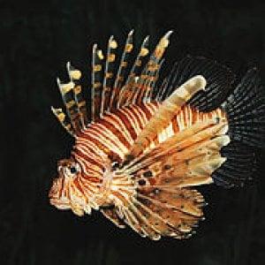 Avvistato nelle acque italiane il pesce scorpione. E scatta l'allarme