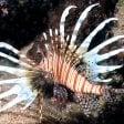 L'allarme: pesce scorpione nelle acque italiane