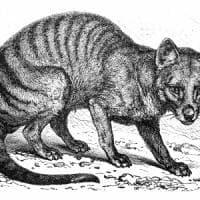 In Australia rivive la tigre della Tasmania, 'belva' estinta per colpa dell'uomo