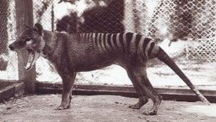 Avvistata tigre della Tasmania: via a ricerche, era ritenuta estinta
