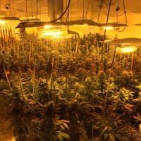 Marijuana nei capannoni: così la mafia cinese trasforma le ex-fabbriche