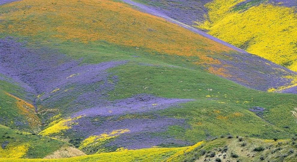 Foto . California, siccità addio: la fioritura è super