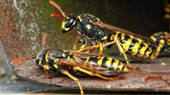 """Con il clima pazzo c'è un boom di insetti """"alieni"""": alto rischio di allergie"""