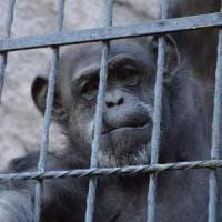 """Cecilia ora è libera. """"Sono esseri senzienti"""": tribunale argentino riconosce a scimpanzé..."""