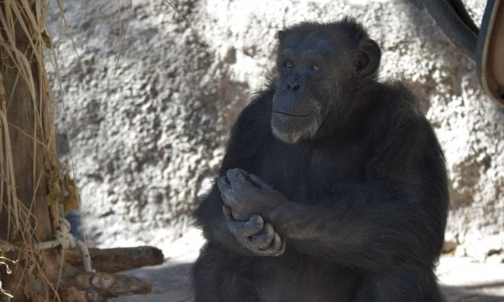 """Cecilia ora è libera. """"Sono esseri senzienti"""": tribunale argentino riconosce a scimpanzé diritti dell'uomo"""