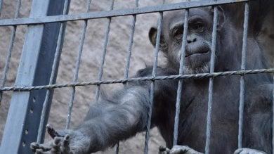 La scimpanzé Cecilia ora è libera. Corte le riconosce diritti uomo