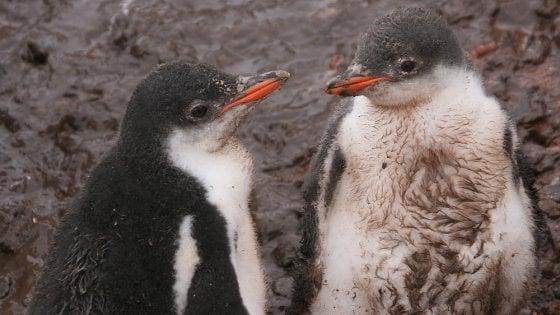 """Antartide, la """"Pompei dei pinguini"""": la storia di una colonia e di un vulcano impressa nel guano"""