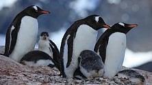 """La """"Pompei dei pinguini"""": la storia di una colonia e di un vulcano è nel guano"""