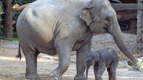Non solo intelligenti e con buona memoria, gli elefanti hanno anche consapevolezza del proprio corpo
