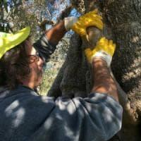 """Scoperta la """"favolosa"""", un'altra coltivazione di olivo resistente alla Xylella"""