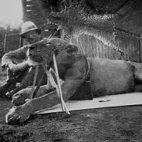 Ecco perché i leoni di Tsavo mangiavano gli uomini