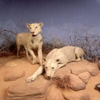 I leoni mangiatori di uomini