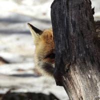 """Parco nazionale d'Abruzzo, gli animali """"spiano"""" il fotografo: gli scatti fanno sorridere"""