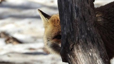 Parco nazionale d'Abruzzo, gli animali spiano il fotografo: gli scatti fanno sorridere