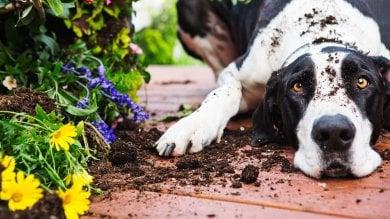 Quando il cane chiede scusa  è perché ha imparato dal lupo