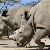 L'ultimo rinoceronte bianco settentrionale su Tinder per sopravvivere