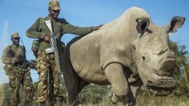 L'ultimo rinoceronte bianco settentrionale  adesso sbarca su Tinder per sopravvivere