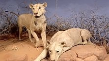 Perché i leoni di Tsavo mangiavano gli uomini
