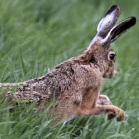Nuova bufera sulla United Airlines: morto in volo un coniglio gigante