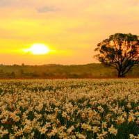 Ucraina, la pianura si illumina di bianco: lo spettacolo nella Valle dei Narcisi