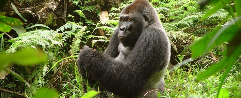 Un gorilla per amico, la sfida di Chloé Cipolletta
