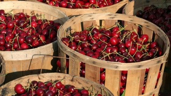Un mondo in rosso la ciliegia 22 variet per un frutto for Piante da frutto nord italia