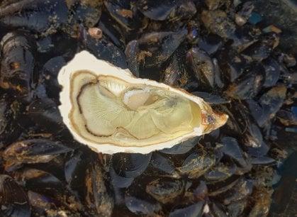 Le ostriche verdi di Portovenere: buone, certo, ma anche belle ed ecologiche