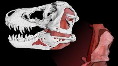 Un morso da 3.600 chilogrammi:  così il T. rex stritolava le sue prede