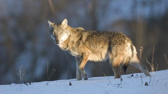 Wwf: solo 6% dei lupi morti per cause naturali, 53% investiti