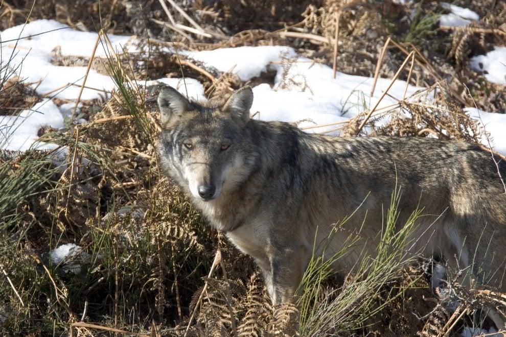 Wolf day: la giornata anti-disinformazione del Wwf