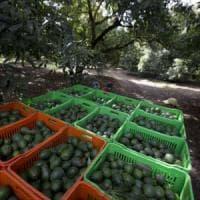 Messico, l'esercito che difende gli avocado: l'oro verde puntato dai narcos
