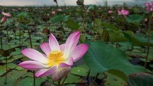 Thailandia, tornano i fiori di lotonon si vedevano da 10 anni foto