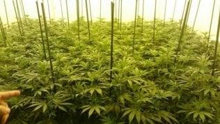 """""""Fanno pubblicità alla cannabis terapeutica"""", farmacie multate"""