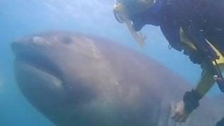 Il raro squalo bocca grandeliberato dalla rete da pesca