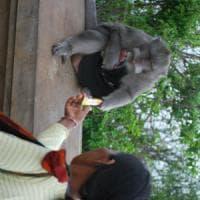 Sorpresa: a Bali i macachi ricattano i turisti per guadagnarsi il cibo