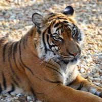 Gb, custode dello zoo uccisa da una tigre