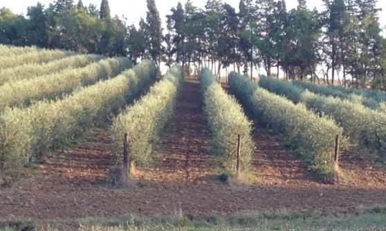 Se gli oliveti imitano le vigne: in filari, per coltivazioni intensive ma di qualità