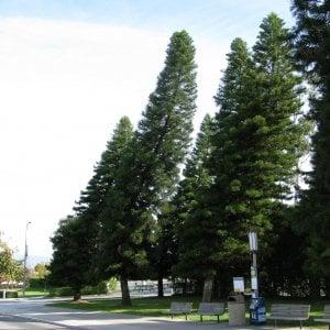 Svelato il mistero degli alberi storti: vanno a caccia dell'equatore