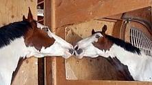 Cavalli allo specchio, forse si riconoscono   Video    di DAVIDE MICHELIN