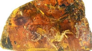 I segreti dell'uccellino racchiusi  nell'ambra per milioni di anni   ·foto