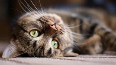 Quei 'ruffiani' ci conquistano:  gatti, ecco come li scegliamo