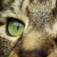 Le origini del gatto domestico?