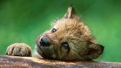 Il mistero dei cinque cuccioli di lupo  trovati morti a Opi, in Abruzzo