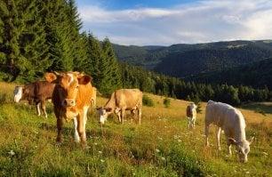 Carne sì, ma più sana:  riapriamo le stalle  e ripristiniamo i pascoli