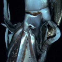 """""""Qui vivono i calamari giganti"""". La prima mappa mondiale arriva dall'Italia"""