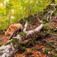 Un albero, 365 giorni: una telecamera nascosta tra i faggi d'Abruzzo, i