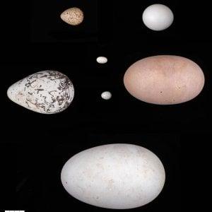 Svelato il mistero delle uova: ecco perché hanno forme diverse
