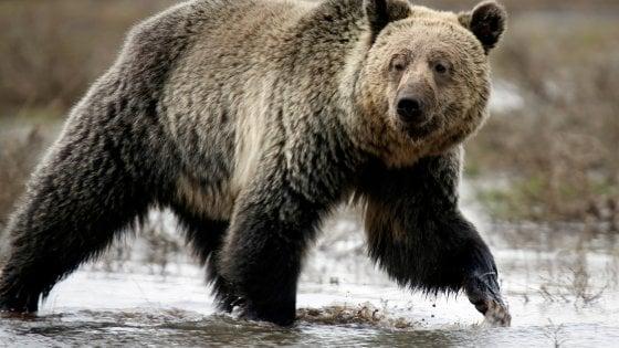 Il grizzly di Yellowstone rimosso dalle specie a rischio. È polemica