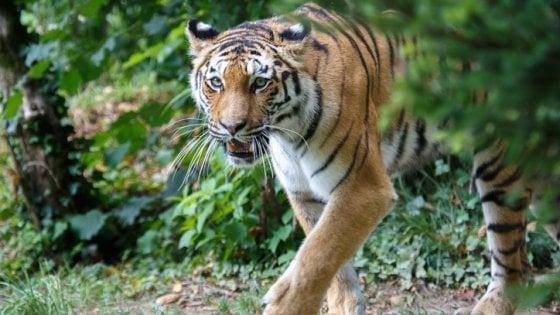 India, il dramma della riserva naturale: anziani in pasto alle tigri per aiutare le famiglie