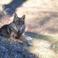 Attenti al lupo: è tornato e fa paura.